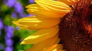 sunflower-76068_640
