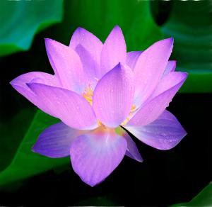 blue-lotus-215460_640