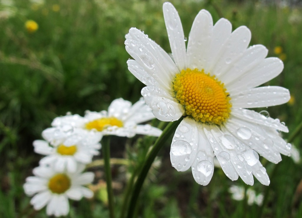 daisies-342616_1280