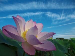 lotus-1151784_640